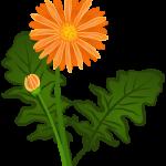 Orange Daisy-type flower